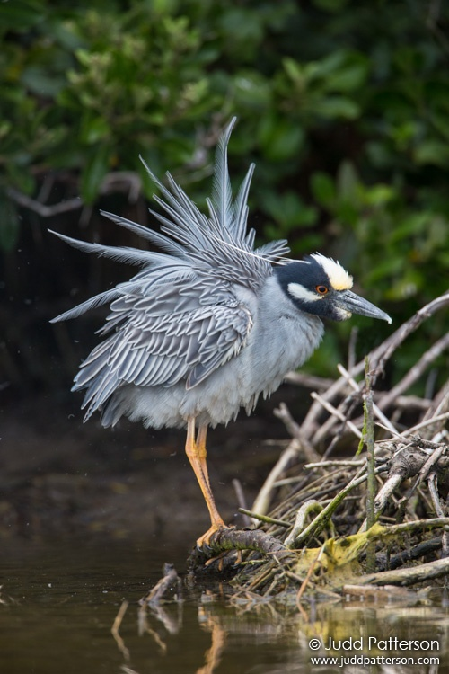 Yellow-crowned Night-Heron, Fort De Soto Park, Florida, United States