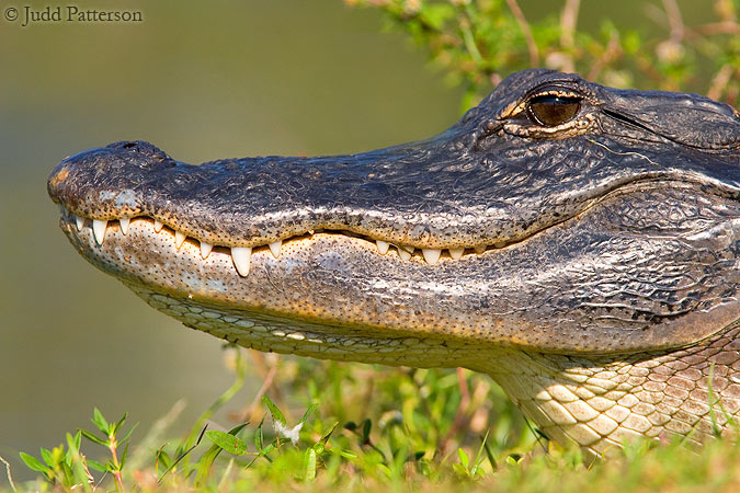 American Alligator, Everglades National Park, Florida, United States