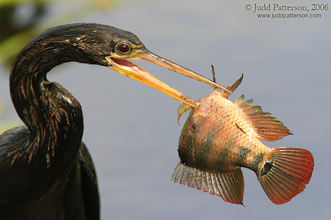 Speared!, Everglades National Park, Florida, United States