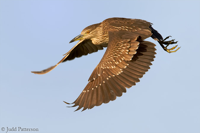 Juvenile Black-crowned Night Heron, Everglades National Park, Florida, United States