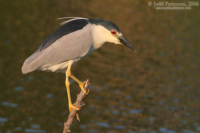 Black-crowned Night Heron, Everglades National Park, Florida, United States