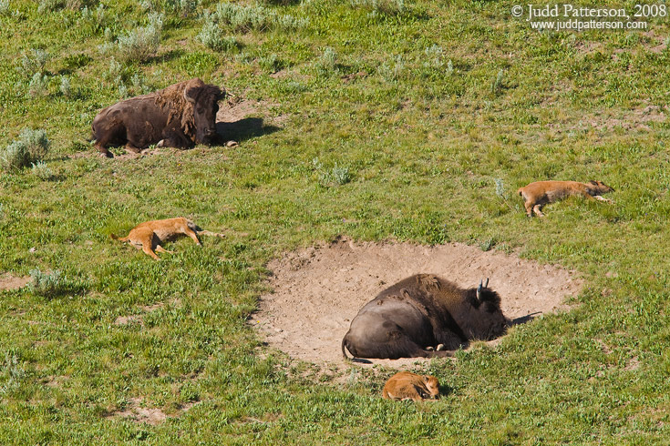 Nap Time, Yellowstone National Park, Wyoming, United States
