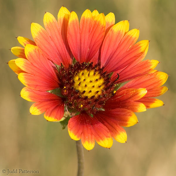 Indian Blanket Flower, DeSoto National Wildlife Refuge, Nebraska, United States