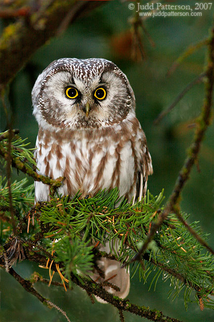Boreal Owl, Rocky Mountain National Park, Colorado, United States