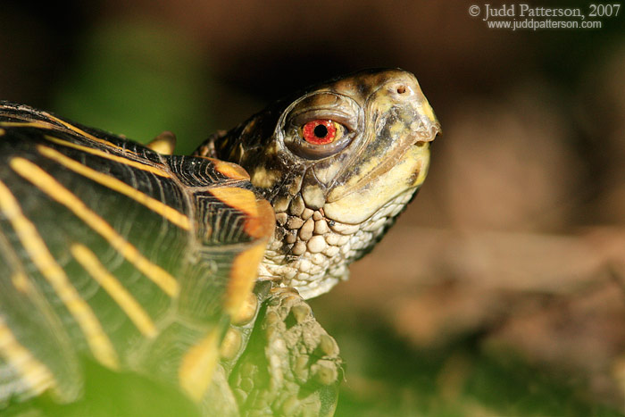 Box Turtle, Lakewood Park, Salina, Kansas, United States