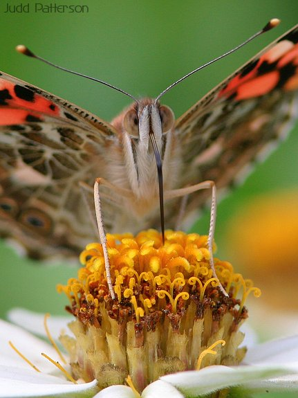 Painted Lady, Dillon Nature Center, Kansas, United States