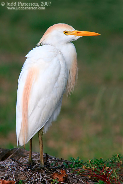 Cattle Egret, Dry Tortugas National Park, Florida, United States