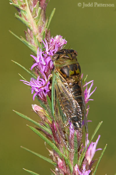 Cicada, The Land Institute, Kansas, United States