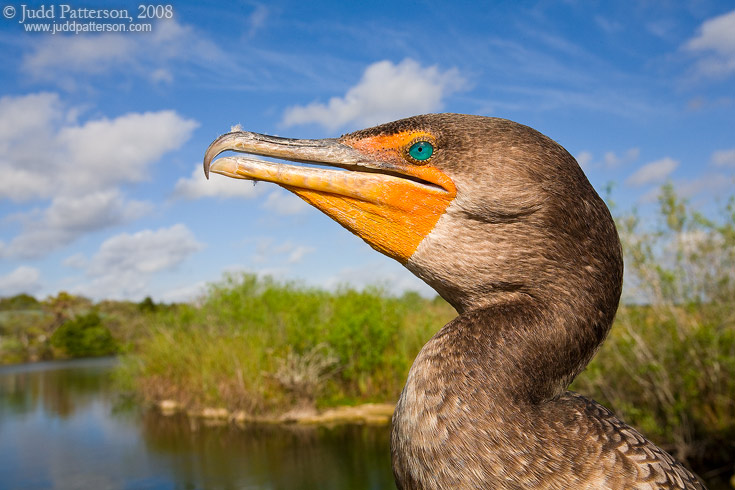 Double-crested Cormorant, Everglades National Park, Florida, United States