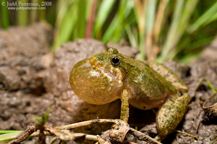 Blanchard's Cricket Frog, Pillsbury Crossing, Kansas, United States