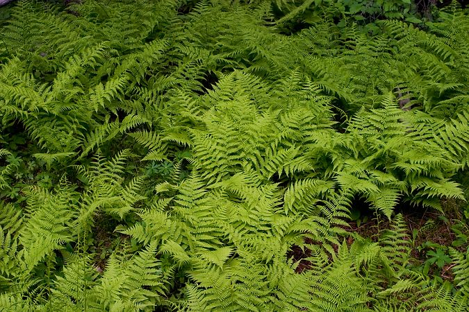Forest Ferns, Custer State Park, South Dakota, United States