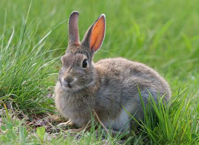 Desert Cottontail, Wind Cave National Park, South Dakota, United States