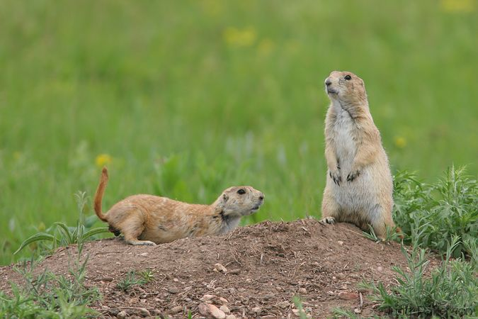 Black-tailed Prairie Dogs, Wind Cave National Park, South Dakota, United States