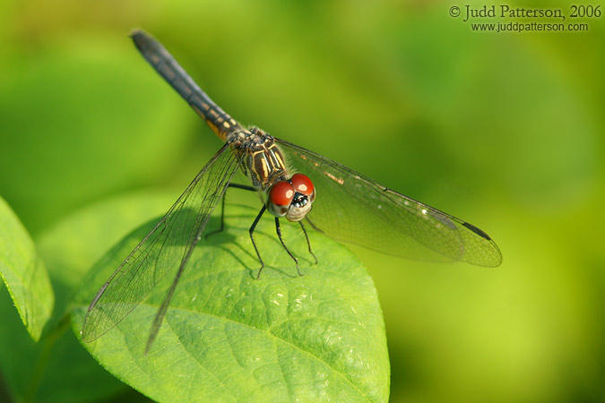 Dragonfly, Bill Sadowski Park, Miami, Florida, United States
