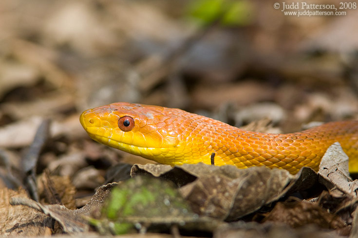 Everglades Rat Snake, Fairchild Tropical Botanic Gardens, Miami, Florida, United States