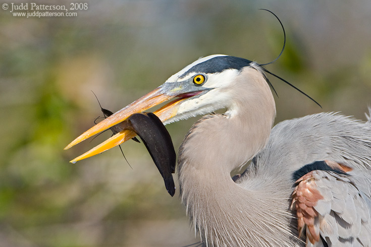 Great Blue Heron, Everglades National Park, Florida, United States