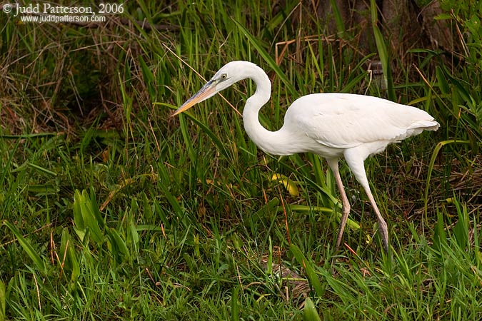 Great White Heron, Everglades National Park, Florida, United States