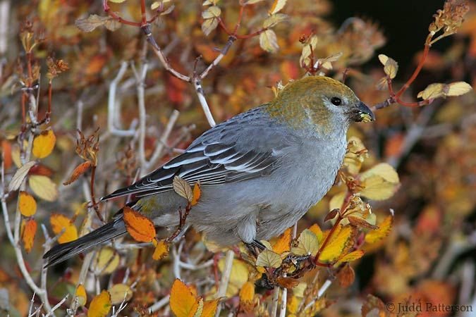 Female Pine Grosbeak, Rocky Mountain National Park, Colorado, United States