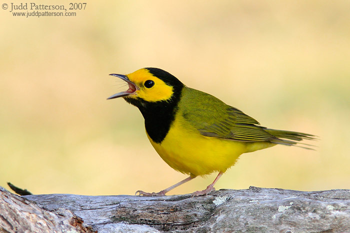 Hooded Warbler, Dry Tortugas National Park, Florida, United States