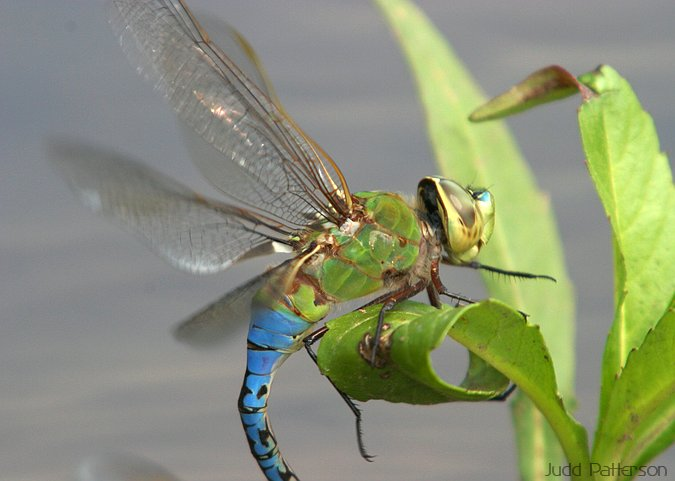 Dragonfly, Tuttle Creek State Park, Kansas, United States