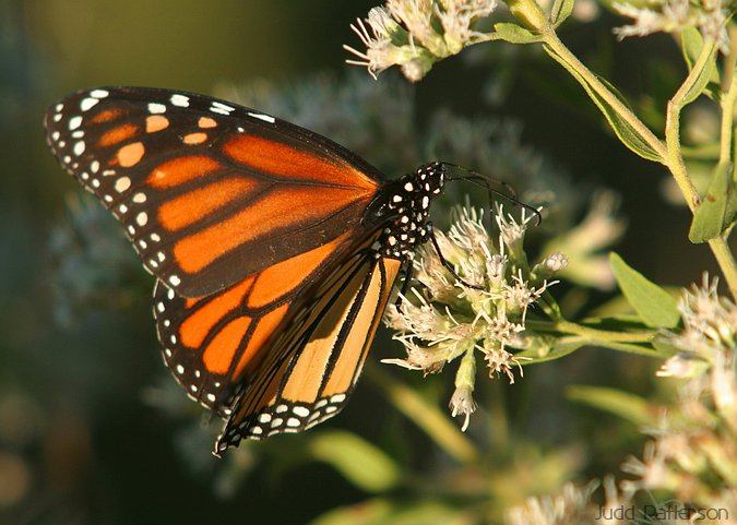 Monarch Butterfly, Konza Prairie, Kansas, United States