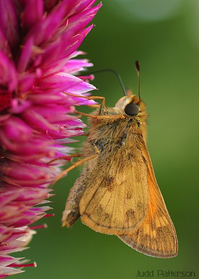 Skipper, K-State University Garden, Kansas, United States