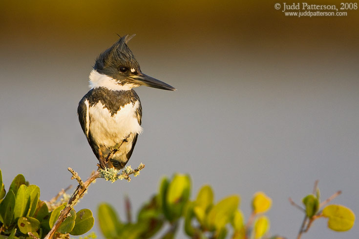Belted Kingfisher, Merritt Island National Wildlife Refuge, Florida, United States