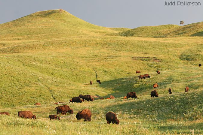 Bison Herd, Custer State Park, South Dakota, United States