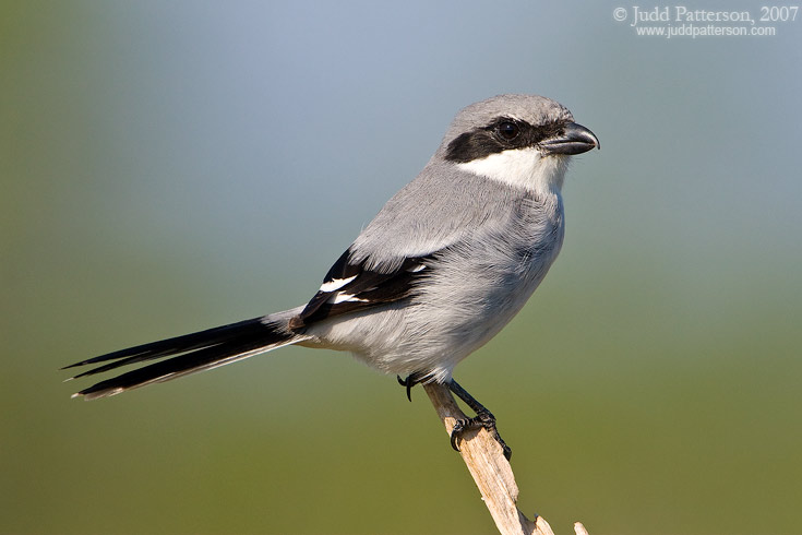 Loggerhead Shrike, Everglades National Park, Florida, United States