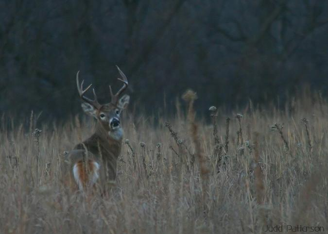 White-tailed Deer buck, Konza Prairie, Kansas, United States