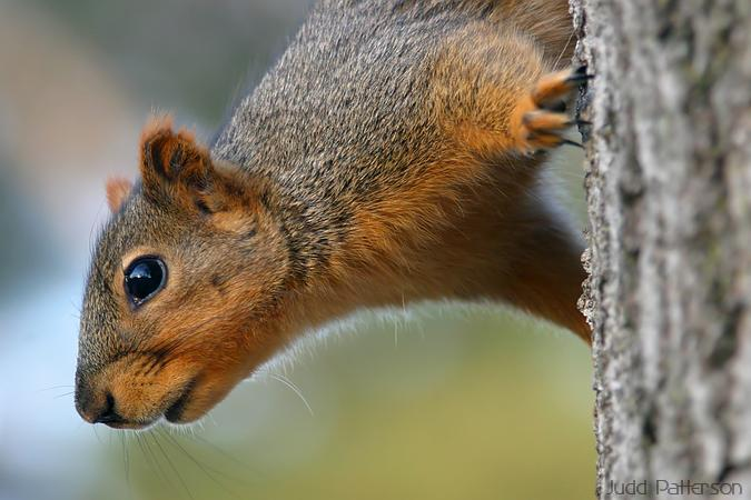 Eastern Fox Squirrel, Manhattan, Kansas, United States