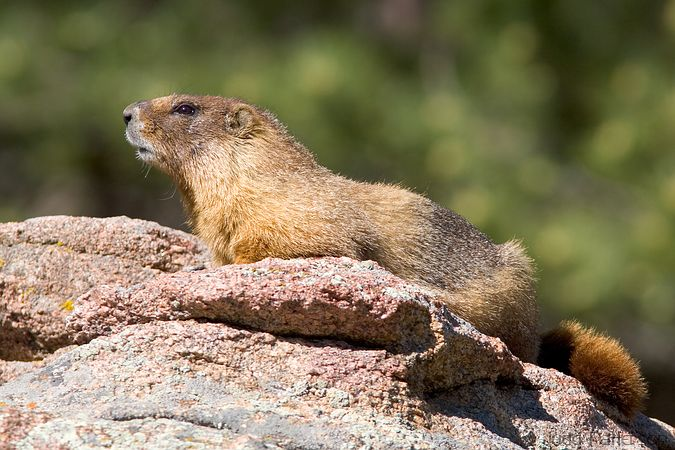 Yellow-bellied Marmot, Rocky Mountain National Park, Colorado, United States