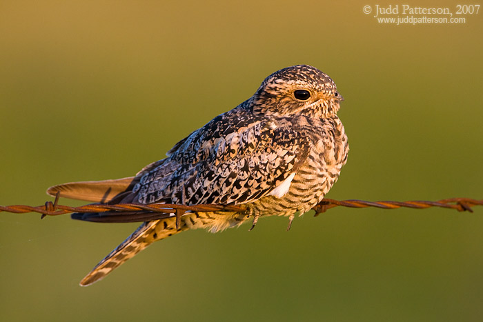 Common Nighthawk, Konza Prairie, Kansas, United States