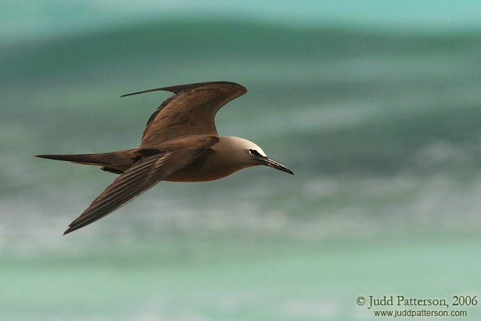 Brown Noddy, Dry Tortugas National Park, Florida, United States
