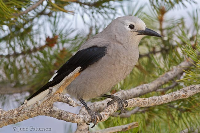 Clark's Nutcracker, Rocky Mountain National Park, Colorado, United States