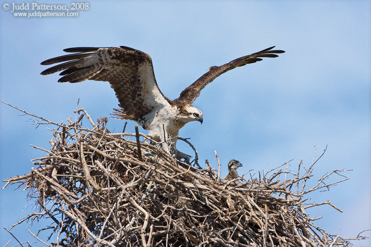 Osprey Family, Everglades National Park, Florida, United States
