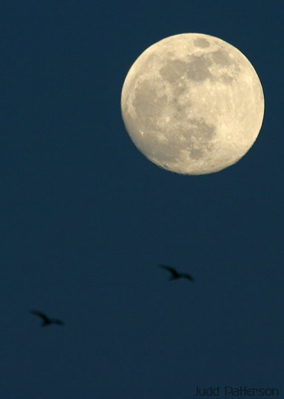 Nighthawks Hunting for Insects while a Full Moon Rises, Konza Prairie, Kansas, United States