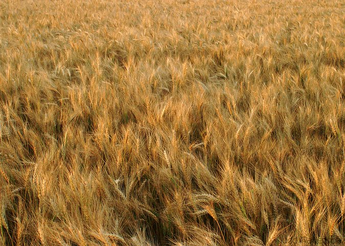 Kansas Wheat, Konza Prairie, Kansas, United States