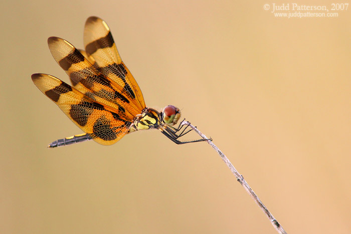Halloween Pennant, Everglades National Park, Florida, United States