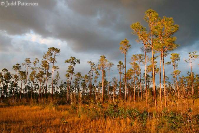 Golden Pines, Everglades National Park, Florida, United States