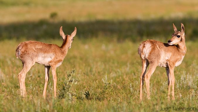 Pronghorn Twins, Custer State Park, South Dakota, United States