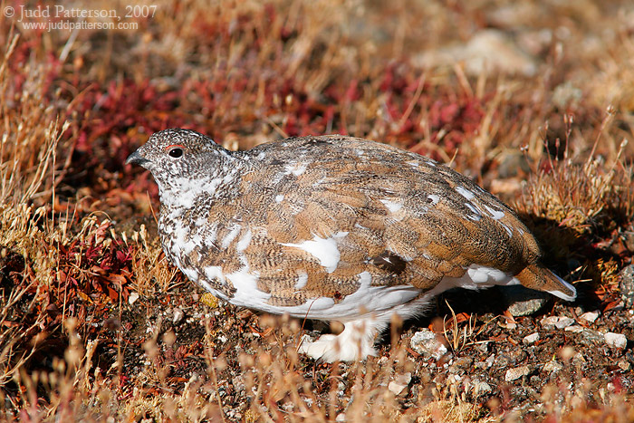 White-tailed Ptarmigan, Rocky Mountain National Park, Colorado, United States