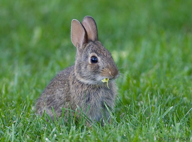 young Eastern Cottontail, Saline County, Kansas, United States