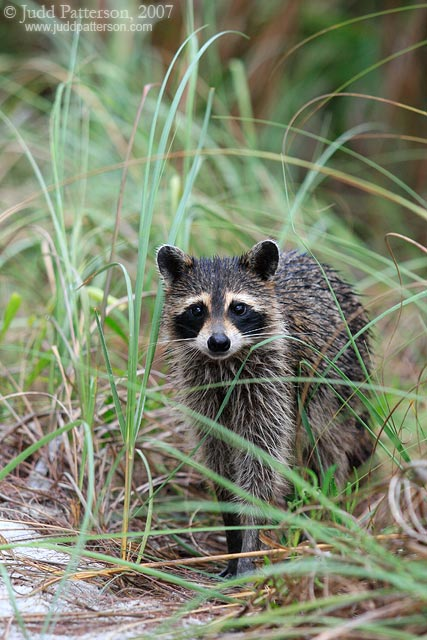 Raccoon, Fort De Soto Park, Florida, United States