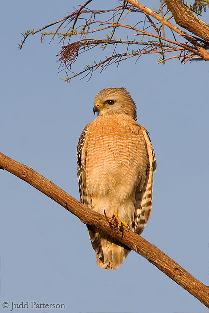 Red-shouldered Hawk, Big Cypress National Preserve, Florida, United States