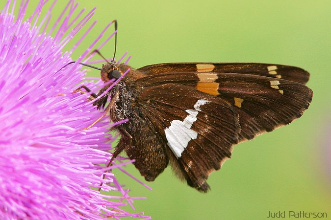 Silver-spotted Skipper, Dillon Nature Center, Kansas, United States
