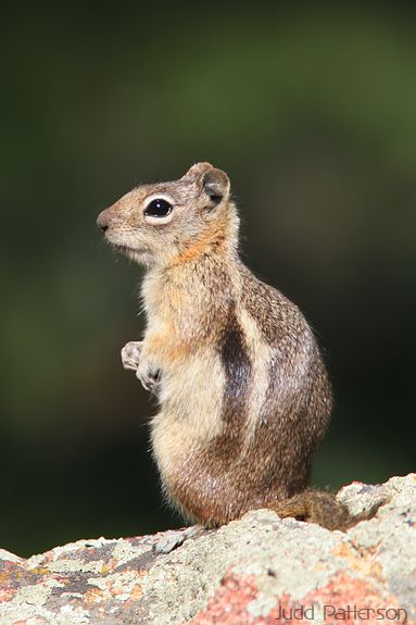 Golden-mantled Ground Squirrel, Rocky Mountain National Park, Colorado, United States