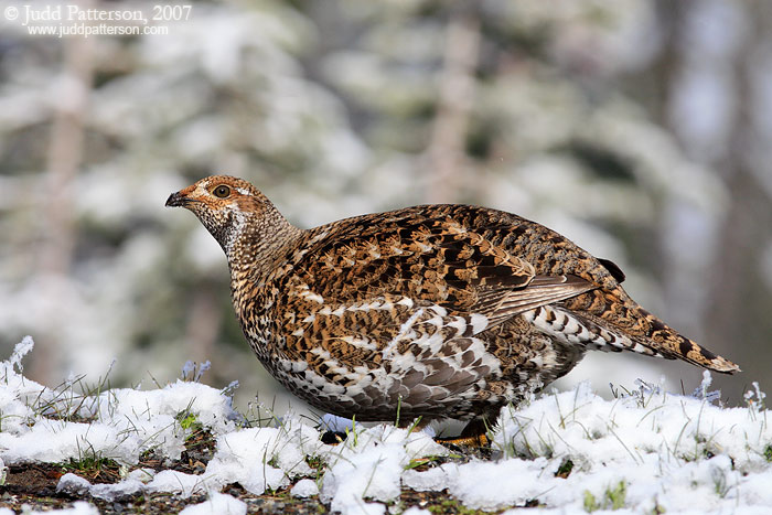Sooty Grouse, Mount Rainier National Park, Washington, United States