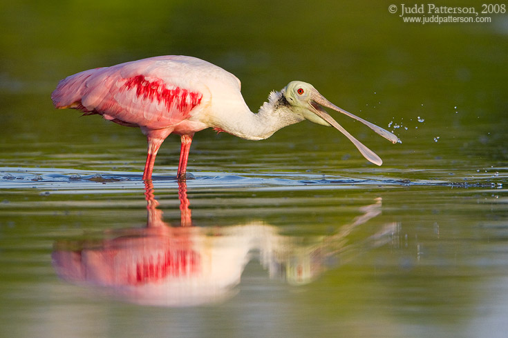 Spoonbill Feeding, Everglades National Park, Florida, United States