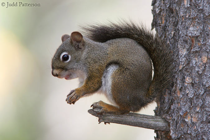 Red Squirrel, Rocky Mountain National Park, Colorado, United States